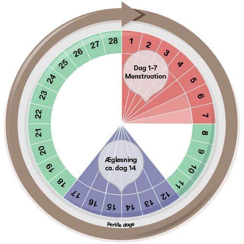 menstruations-cyklus-28-dage-beregner - Babyplan.dk